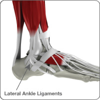 Ankle/ligament anatomy