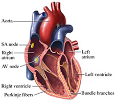 heart electrical system